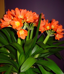 Clivia, African Lily