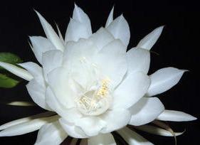 Night Blooming Cirrus Flower