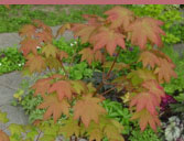 """blushing"" Japanese Maple"