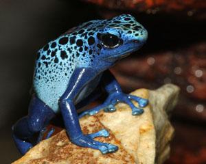 Blue Dart Frog Fully Present