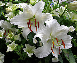 Casablanca Asiatic Lily