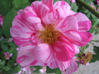 "Rosa Mundi ""Peppermint"""