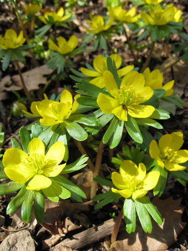 Winter Aconites closeup