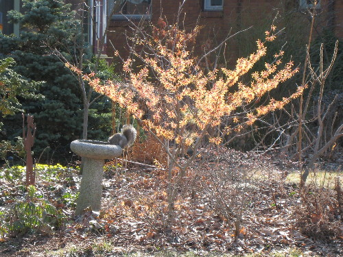 Copper Witch Hazel bush